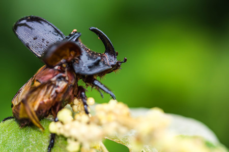 Rhinoceros Beetle (Oryctes nasicornis) on green leaf