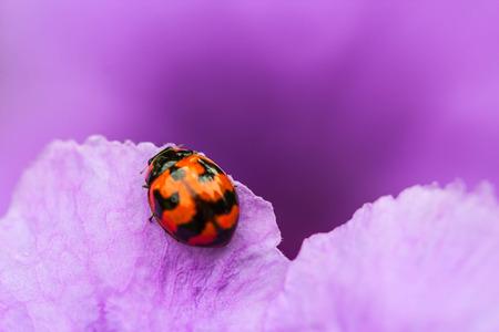 Ladybug beetle on purple flower