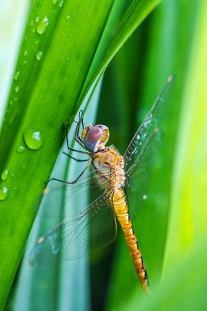 trithemis: Resting orange dragonfly