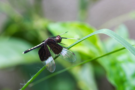 moustached: Resting black dragonfly