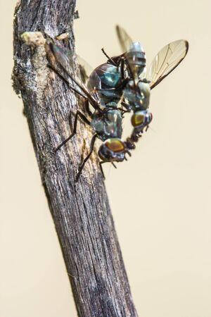 Wild flies mating.(Lispe tentaculata)