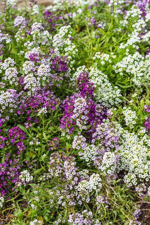 alison: Sweet Alyssum Flowers in garden Stock Photo