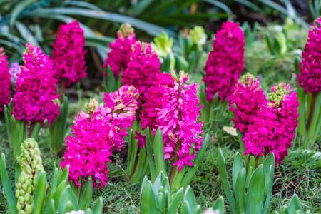 Pink hyacinth spring blooming flower in garden.