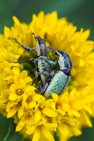macro image of mating weevils selective focus