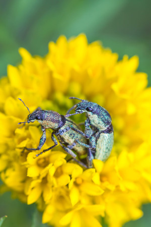 macro image of mating weevils