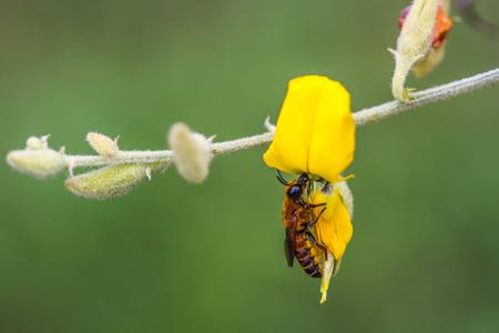 Honey Bee on yellow Indian hemp flower