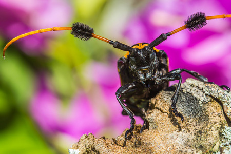 Black and Yellow Longhorn Beetle on nature background.