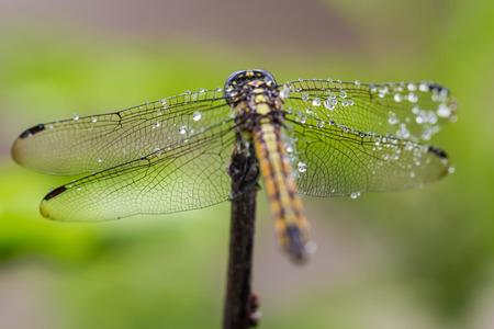 Back of golden brown dragonfly closeup Stok Fotoğraf