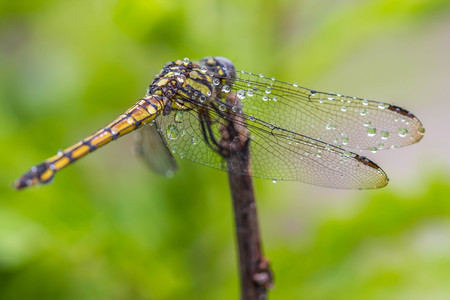 golden brown dragonfly closeup