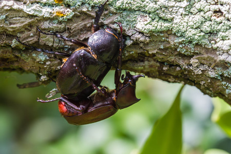 Male and Female beetles (Dynastinae) mating on branches.selective focus