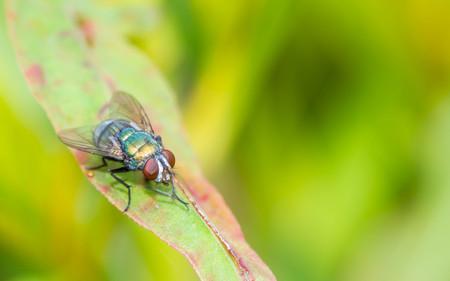 Blow fly; Chrysomya megacephala on leaf Stok Fotoğraf