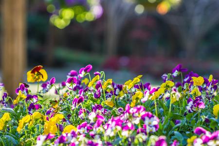 Close up of pansy flowers Standard-Bild - 115741380