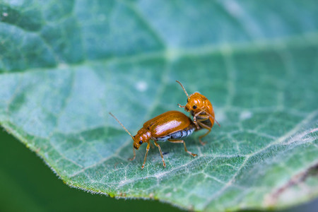 orange beetle mating on leaf