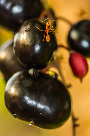 Red ant on fruit