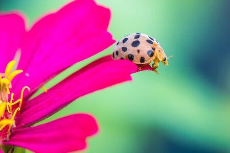 cute beetle  on pink flower