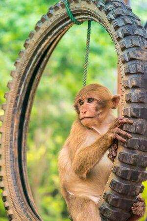 monkey in public temple north Thailand. Standard-Bild