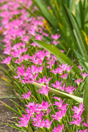 Fairy lily in the garden Standard-Bild