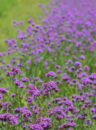 verbena flower on nature background