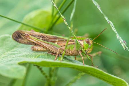 An Image of Grasshoppers . macro Grasshopper Standard-Bild