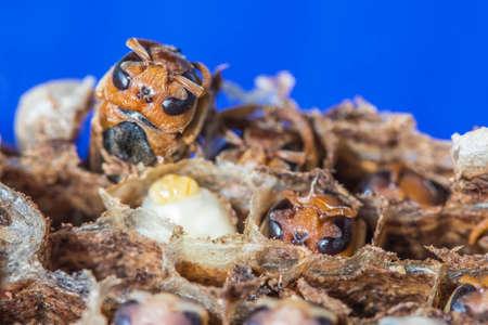 closedup grub wasp in nest
