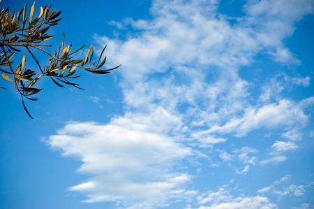 The olive tree branches on the blue sky background