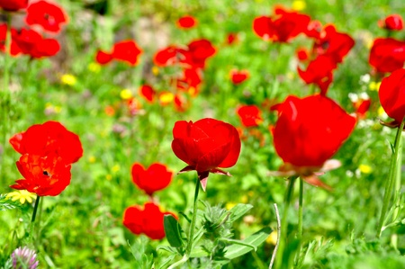 bloom of red natural flowers in Galilee, north Israel Stock Photo