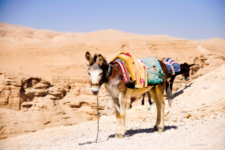 donkey on a leash in Judea desert photo