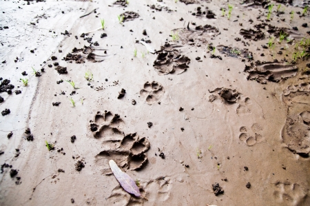 banias: animal`s footprints on the coast of Banias river, Israel