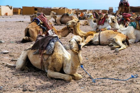 camel parking in the village of Red Sea coast