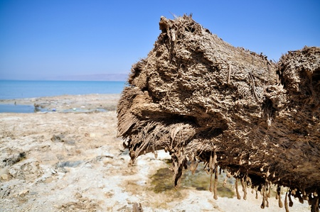 snag: wooden snag is covered wih salt from the Dead Sea