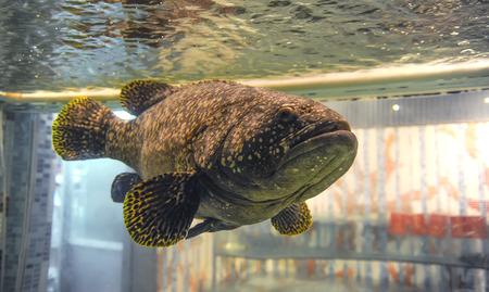 Big brown tropical fish in water aquarium tank