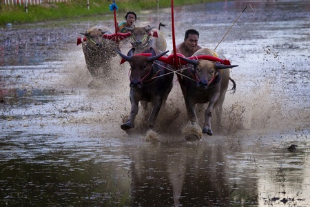 chonburi: buffalo racing is a local tradition in chonburi province