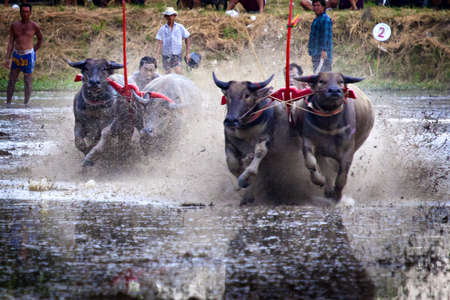 chonburi: buffalo racing is a local tradition in chonburi, thailand