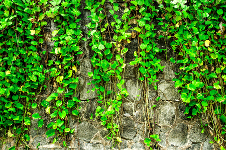 The wall with vine and grass, green grass and vine on the wall, The grass and vine on the rock wall