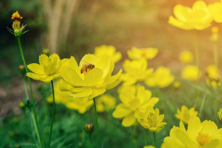 A bee find honeydew in the pollen of flower, Close-up of Cosmos and yellow starship flower on the wayside, Macro of flower in the garden on morning.  Stock Photo