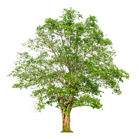 A tree shape and Tree branch on white background for isolate the background, A single tree on white background with clipping path. Stock Photo
