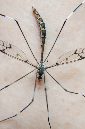 Macro of mosquito on the human skin, Close - up of mosquitoes are sucking blood on the skin, Aedes and aegypti are dangerous insect that cause of the virus.   Banque d'images