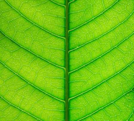Background and wallpaper of green leaves texture and structure of leaf fiber, Macro and detail of green leaf.
