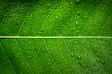 Background and wallpaper of green leaves texture and drop of water on the leaf, Macro and detail of green leaf with water droplet.