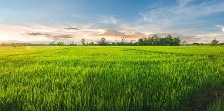 Paisaje de arroz y semillas de arroz en la granja con hermoso cielo azul, campo de arroz orgánico con arroz verde y dorado, cultivo de plantas y agricultura con luz de la mañana y del atardecer
