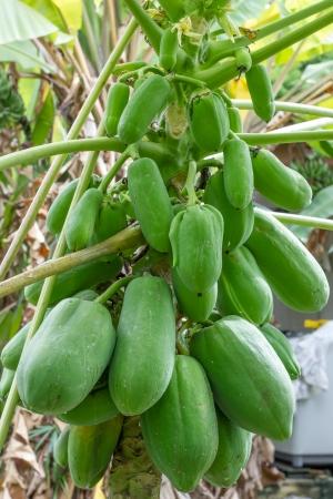 papaya tree: papaya is rich with the fruit full early Stock Photo