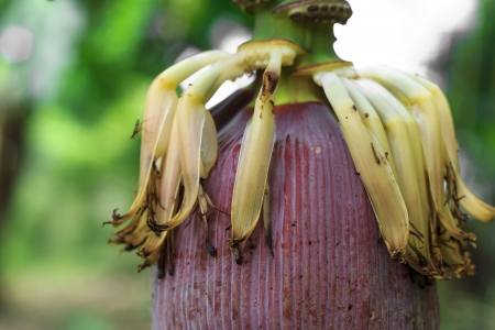 apt: a big banana blossom and apt cook
