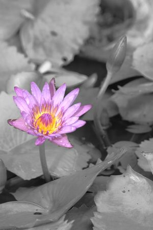 violet water lily blossom on B W background