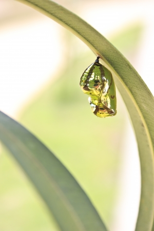 pupae: tropical butterfly pupa hanging on leave