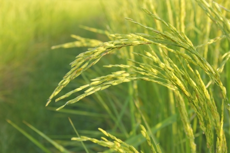 close up of fresh weed in  rice fields Stock Photo
