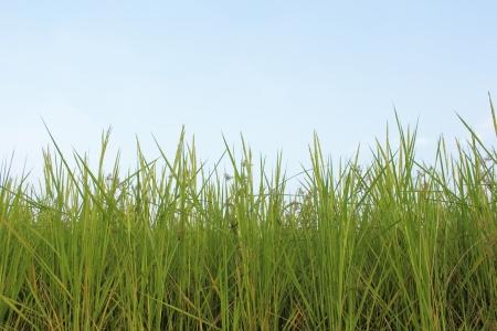 rice fields againt sky photo