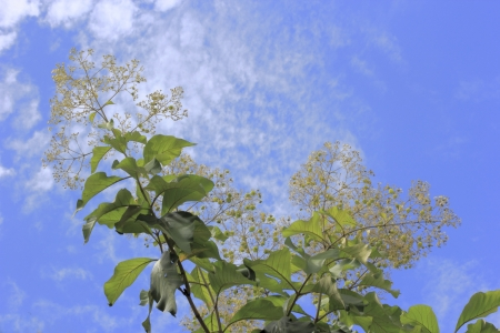 teak tree and blossom flower against blue sky Stock Photo - 16163470