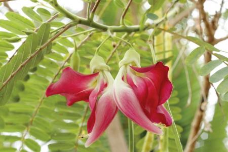 Vegetable Humming Bird Sesban Agasta  Sesbania grandiflora Desv  in science name or Dok Kae in Thai  photo
