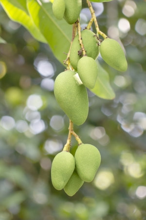 Close-up of mango on tree