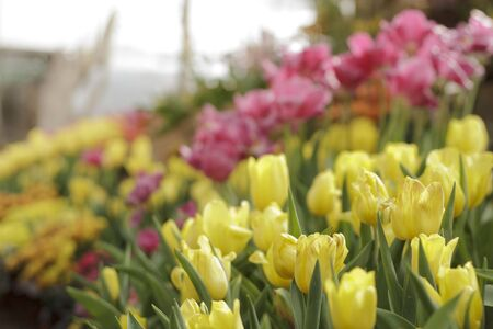 fresh of colorful tulips in garden Stock Photo - 17716908